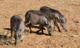 Warthogs есть траву в Намибии Африке Стоковое Изображение