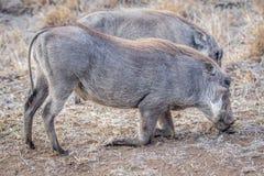 2 Warthogs есть траву Стоковые Фотографии RF