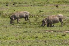 2 Warthogs на траве Стоковая Фотография RF