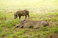 Warthogs, отдыхая Стоковые Фотографии RF