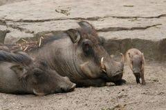 Warthogs пустыни Стоковые Изображения