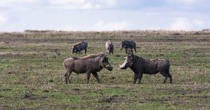 warthogs Свиньи перед боем SweetWaters, Африка Стоковая Фотография RF