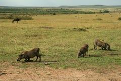 warthogs Στοκ εικόνες με δικαίωμα ελεύθερης χρήσης