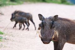 warthogs Zdjęcie Stock