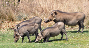 Warthogs Royalty Free Stock Image