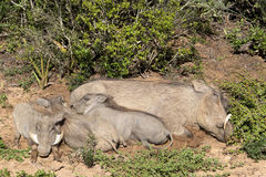 Warthogs. A family of warthogs resting, Addo Elephant National Park Stock Photo