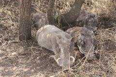 Warthogs Fotos de archivo libres de regalías