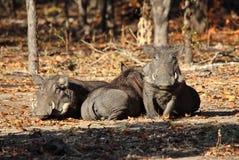 Warthogs Obrazy Royalty Free