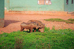 Warthogs Royalty Free Stock Photos
