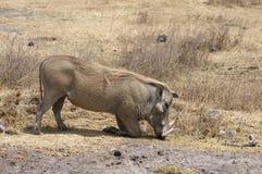 Warthogs 免版税图库摄影