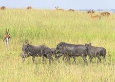 Warthogs 图库摄影