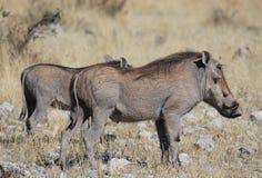 warthogs Fotografia Stock