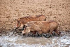 warthogs Стоковые Изображения RF