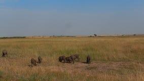 warthogs απόθεμα βίντεο