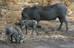 Warthogs Stock Photography
