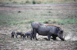Warthogs. Warthog mother and piglets royalty free stock photos