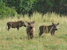 Warthogs in Africa Stock Photos