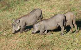 Warthogs in Africa Royalty Free Stock Photos
