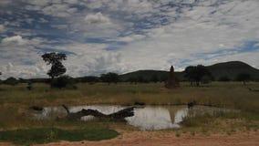 Warthogs bathing in a mud hole, Etosha National Park stock footage