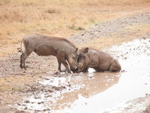 Warthogs in Battle Royalty Free Stock Photos