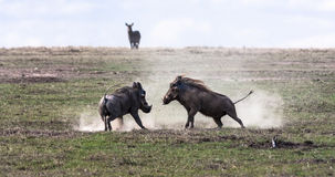 Warthogs. The battle in the field. SweetWaters, Kenya Royalty Free Stock Photography