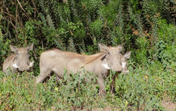 Warthogs in the bush Stock Photo
