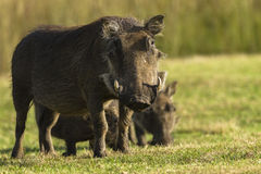 Warthogs Closeup Wildlife Stock Images