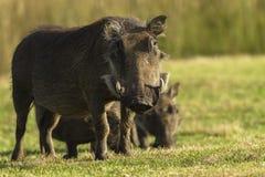 Warthogs Closeup Wildlife stock images