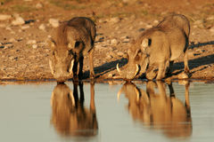 Warthogs drinking Stock Photo