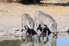 Warthogs drinking. At a watering hole Royalty Free Stock Photography