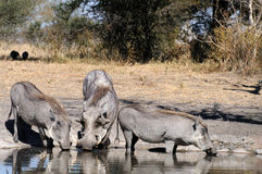 Warthogs drinking. At a watering hole Stock Photo