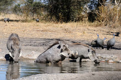 Warthogs drinking. At a watering hole Royalty Free Stock Photo