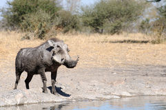 Warthogs drinking. At a watering hole Royalty Free Stock Image