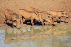 Warthogs drinking Stock Photography