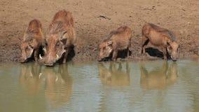 Warthogs drinking stock footage