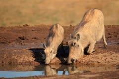 Warthogs drinking Stock Photos