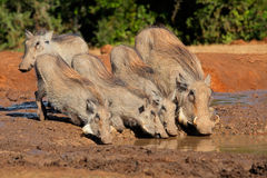Warthogs drinking water stock photography
