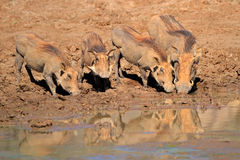 Warthogs drinking water Royalty Free Stock Photography