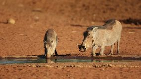 Warthogs drinking water stock footage