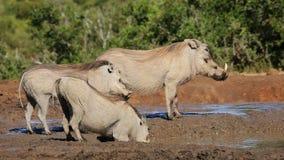 Warthogs drinking water stock video