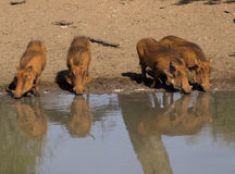 Warthogs drinking at waterhole Stock Photography