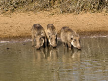 Warthogs drinking at waterhole Royalty Free Stock Photo