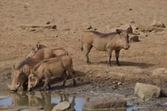 Warthogs drinking from watering hole Royalty Free Stock Images