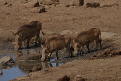 Warthogs drinking from watering hole. A group of warthogs taking an afternoon drink from the watering hole Stock Photo