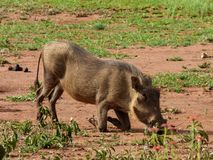 Warthogs eat grass on the savannah royalty free stock photography