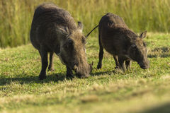 Warthogs Family Stock Photography