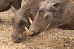 Warthogs Royalty Free Stock Photos