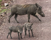 Warthogs family  on the road Royalty Free Stock Photo