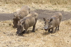 Warthogs. Are favourite preys of lions but they can be very difficult to kill, due to their very thick necks Stock Images