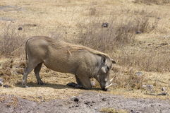 Warthogs. Are favourite preys of lions but they can be very difficult to kill, due to their very thick necks Royalty Free Stock Photography